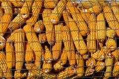 Exhibición del maíz en la mazorca en la demostración agrícola Foto de archivo libre de regalías