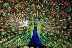 Exhibición del pavo real Fotografía de archivo