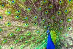 Exhibición del pavo real Fotos de archivo