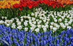 Exhibición floral roja, blanca, y azul - Tulip Festival - Albany NY Fotos de archivo