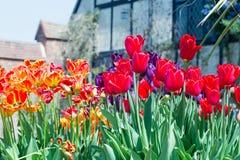 Exhibición hermosa de tulipanes verticales brillantemente multicolores en la plena floración imágenes de archivo libres de regalías