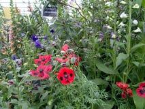 Exhibición inglesa de la flor del jardín de la cabaña imagen de archivo libre de regalías