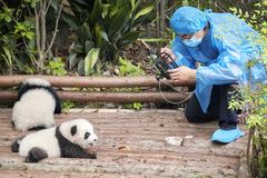 Exhibición pública de las pandas del bebé de la película del periodista primera en la base de la investigación de Chengdu del gig imagen de archivo