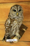 Exhibit of stuffed Barred Owl on wood perch Stock Image