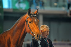 Exhibition breed horses Stock Image