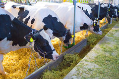 Exhibition cows. Black and white cows grazing in a stable,photography Royalty Free Stock Image