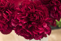 Exhibition of crimson bouquets of peonies Royalty Free Stock Photos