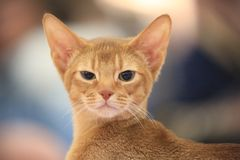 Portrait of a kitten of Abyssinian breed close-up stock photo