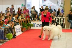 Exhibition of purebred dogs at Palasettembre, Chiuduno BG 14-1 royalty free stock photos
