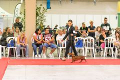 Exhibition of purebred dogs at Palasettembre, Chiuduno BG 14-1 royalty free stock images