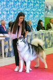 Exhibition of purebred dogs at Palasettembre, Chiuduno BG 14-1 royalty free stock photography