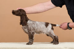 Exhibition training of english cocker spaniel Royalty Free Stock Photography