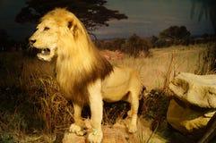 Exhibition of wild animal specimens Stock Images