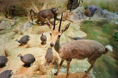 Exhibition of wild animal specimens Stock Photo