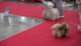 Exhibitors showing their pets stock video