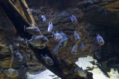Exibição da piranha Fotografia de Stock Royalty Free