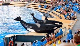 Exibição nova do oceano da orca, Loro Parque Imagem de Stock