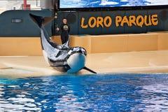 Exibição nova do oceano da orca, Loro Parque Fotos de Stock Royalty Free