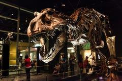 Exibições do dinossauro no museu real de Tyrrell em Drumheller, Canadá Imagens de Stock Royalty Free