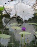 Exibi??o pelo artista de vidro Dale Chihuly na casa em jardins de Kew, Richmond de Waterlily, Londres, Reino Unido imagens de stock