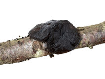 Exidia glandulosa fungus, closeup detail. Stock Image