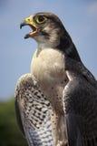 Exigence du faucon Photographie stock libre de droits