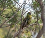 Eximius vert de Platycerus de rosella dans les arbres chez Scamander, Tasmanie photos libres de droits
