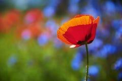 Existence solitaire d'une fleur de pavot photos stock