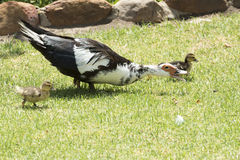 Exited goose with chicks Royalty Free Stock Image