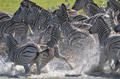 Exited Zebras. Exited  Zebras in alarm at a waterhole Royalty Free Stock Image