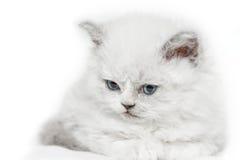 Exklusives weißes Kätzchen mit blauen Augen Stockfotos