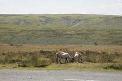 Exmoor får som betar på vägrenen Arkivfoton