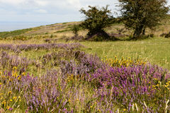 Exmoor flowers and Bristol channel Royalty Free Stock Image