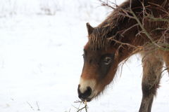 Exmoor horse detail Stock Image