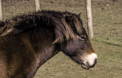Exmoor konik Fotografia Royalty Free