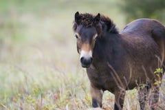 Exmoor konik zdjęcie stock