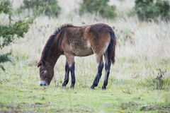 Exmoor konik zdjęcie royalty free