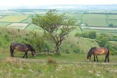 Exmoor koniki zdjęcia stock