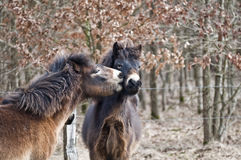 Exmoor ponies. At the welcome kiss - Horse kiss - public vivarium hammer at Kiel Stock Image