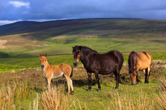 Exmoor Ponies. In the Exmoor National Park, Somerset, England Royalty Free Stock Photos