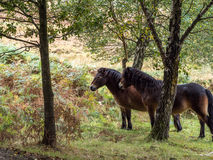 Exmoor Ponies in the  Ashdown Forest Royalty Free Stock Photos