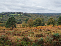 Exmoor Ponies Grazing in the  Ashdown Forest. In Autumn Royalty Free Stock Photo