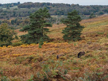 Exmoor Ponies Grazing in the  Ashdown Forest Royalty Free Stock Images