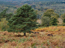 Exmoor Ponies Grazing in the  Ashdown Forest Stock Images