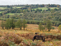 Exmoor Ponies Grazing in the  Ashdown Forest Stock Photo