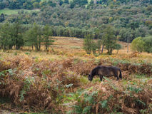 Exmoor Ponies Grazing in the  Ashdown Forest Stock Photography