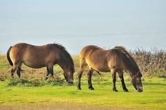 Exmoor Ponies grazing(Equus ferus caballus) Stock Images