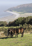 Exmoor ponies grazing on Exmoor near Porlock Stock Images