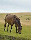Exmoor Ponies Royalty Free Stock Images