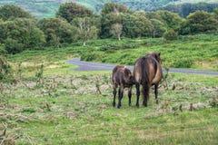 Exmoor ponies. Mare suckles foal. Royalty Free Stock Photos